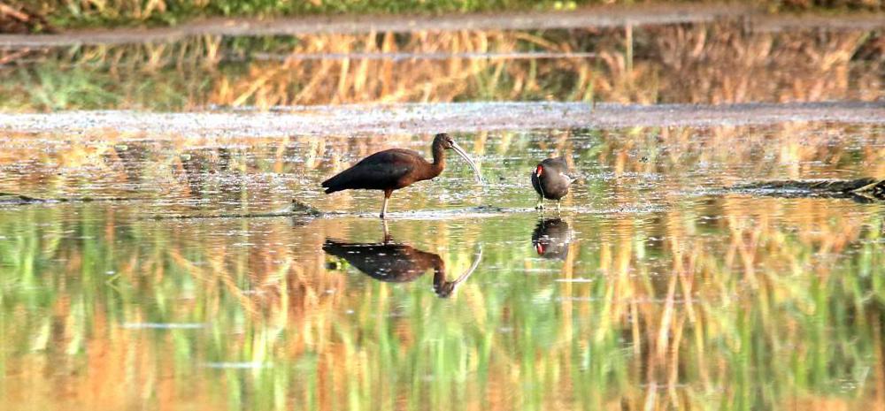 时隔三年,滇池湿地再现彩鹮翩飞