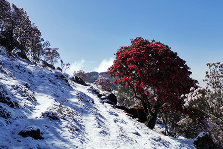 昆明轿子山红花白雪,别样春光美