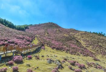 ดอกนกแขกเต้าบานสะพรั่งในอำเภอลู่ฉ้วน เมืองคุนหมิง