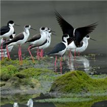 湖北恩施:近百只黑翅长脚鹬现身湿地公园
