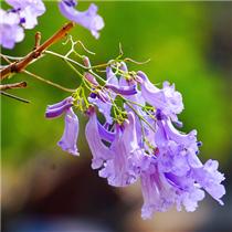 """美!来欣赏开远浪漫""""紫"""""""