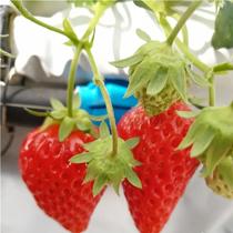 草莓采摘暂告段落,育苗季已来临