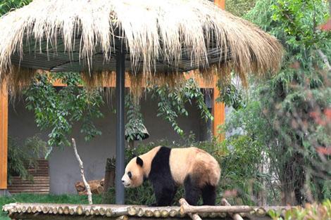 """มณฑลยูนนาน หมีแพนด้า """"เหมาจู๋"""" และ """"เจินตัว"""" ย้ายเข้า """"บ้านหลังใหม่"""""""
