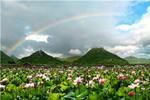 In Yunnan, lotus flowers are blooming