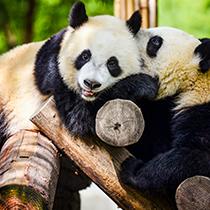秦岭大熊猫惬意的午后时光