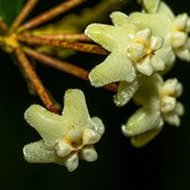我国科学家在云南发现一植物新物种高黎贡球兰