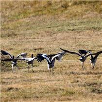 首批赴云南寻甸越冬的黑颈鹤已抵达