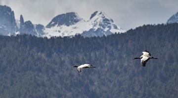 Napahai Lake: A paradise for migrant birds