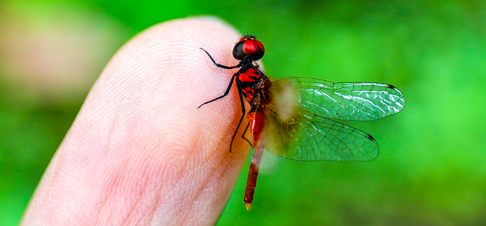 体长不足15毫米 四川发现目前已知世界最小蜻蜓个体