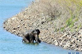 获救的大象