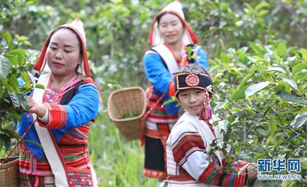 ชีวิตผูกพันกับใบชาของชนชาติจีนัวในมณฑลยูนนาน