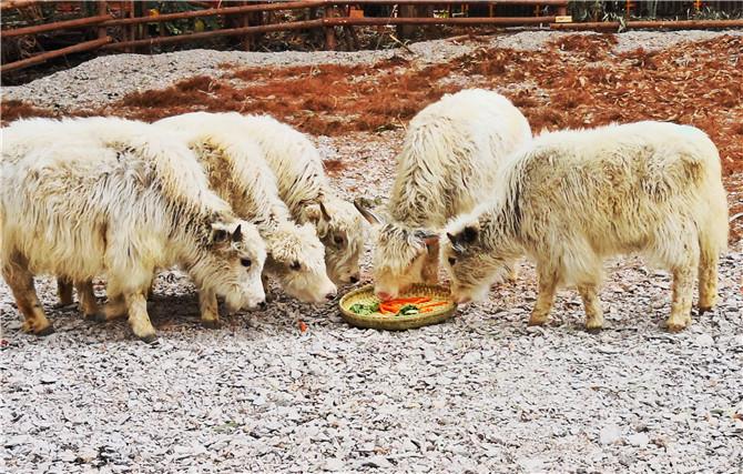 """来野生动物园 和牛牛们一起""""犇""""赴新年"""