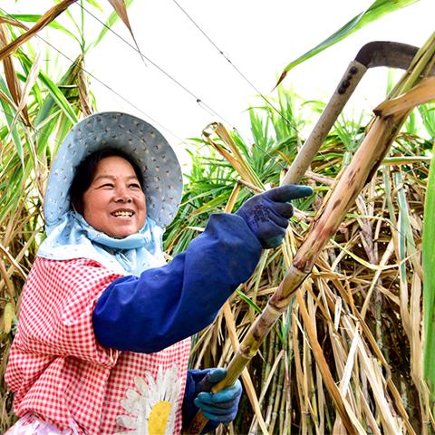 云南弥勒:古法制糖熬出村民甜蜜生活