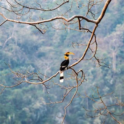 云南盈江:犀鸟迎春