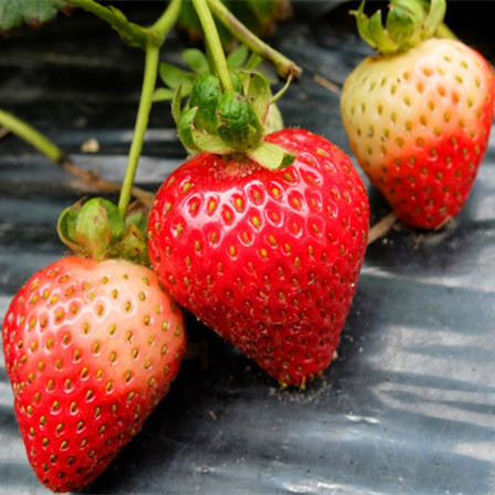 叮咚说果 | 没有它,也许我们就吃不到草莓了!