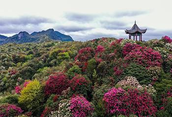Rừng hoa đỗ quyên vào mùa ở Quý Châu, Trung Quốc