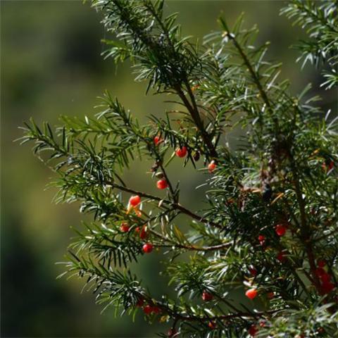 时隔40多年,我国再度发现珍稀濒危植物密叶红豆杉种群