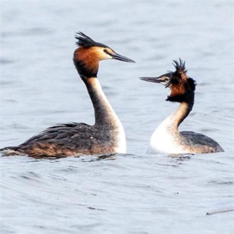 "【COP15】这对鸟儿,为啥跳起魔性""甩头舞""?"