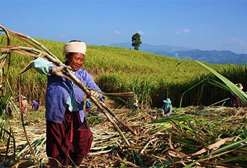 ต้นอ้อยมากกว่า 1.7 แสนไร่ในอำเภอเกิ่งหม่ายูนนานเข้าสู่ฤดูกาลเก็บเกี่ยว