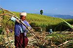 Hơn 27.000 ha mía ở Cảnh Mã, Vân Nam vào mùa thu hoạch