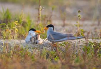 【COP 15】 ၆၁ ႏွစ္ၾကာျမင့္ၿပီးေနာက္ ယူနန္ျပည္နယ္ရင္က်မ္းခရုိင္တြင္ Whiskered Tern ငွက္ျပန္လည္ပ်ံသန္းလာျခင္း