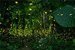 """Bước dưới những vì sao """"Biển đom đóm"""", vườn thực vật nhiệt đới Tây Song Bản Nạp"""