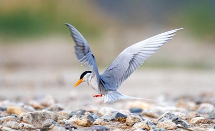 ນົກສີດານ້ຳ (River Tern) ຟັກໄຂ່ລູກນົກຮັງທີສອງສຳເລັດ
