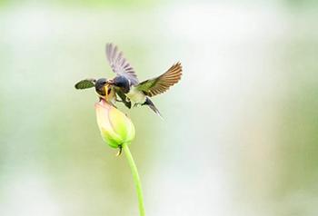 นกนางแอ่นโบยบินในสระบัวเฉิงเจียงยูนนาน