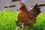 """Công mẹ ngang bướng không chịu ấp trứng, gà mẹ """"tiếp tay"""" ấp công con lớn lên"""