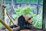 Công viên động vật hoang dã Vân Nam tổ chức tiệc sinh nhật lần thứ 7 cho gấu tr