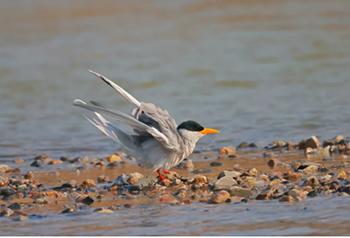 ร่วมอนุรักษ์นกนางนวลแหล่งสุดท้ายในแม่น้ำหยิงเจียงยูนนาน
