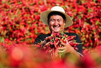พริกสีแดงนำพาชาวบ้านจิ่วฉวนกานซู่ไปสู่ชีวิตที่แสนสุข