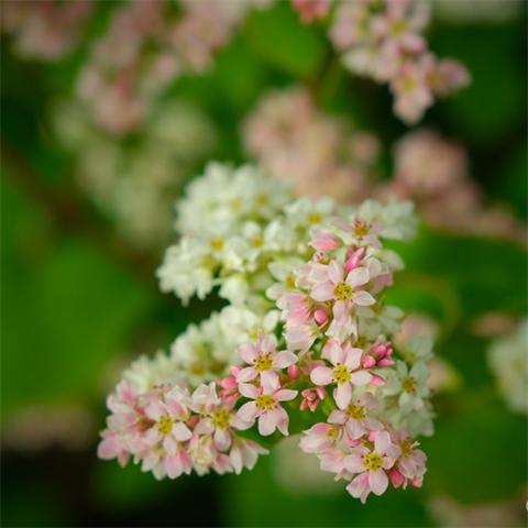 荞花,在滇红之乡盛开