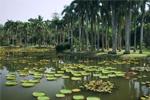 บัววิกตอเรียสายพันธุ์ใหม่ที่เพาะพันธุ์โดยสวนพฤกษศาสตร์สิบสองพันนาได้รับการรับรองจากสากล