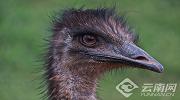 សួនសត្វព្រៃយូណាននឹងរចនាឱ្យសត្វ Emu និង សត្វ កង់ហ្គូរុ   ធ្វើការដាក់ចិញ្ចឹមរួមគ្នា
