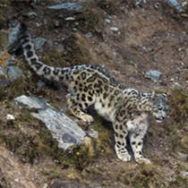 澜沧江源正成为全球最佳雪豹自然体验点