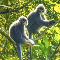 云南陇川发现国家一级重点保护动物菲氏叶猴群