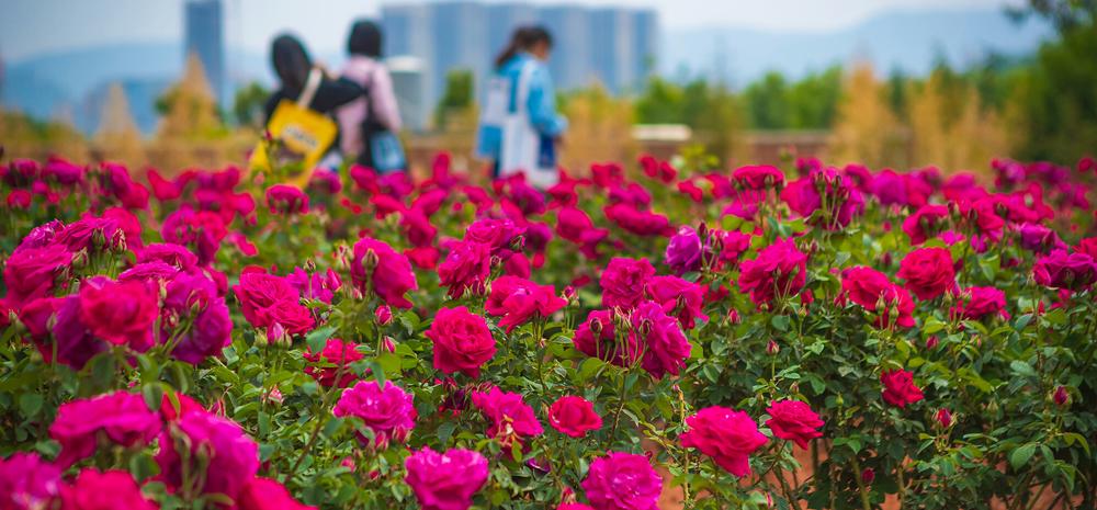 """种花、吃花,来看云南这所高校的玫瑰""""产业链"""""""