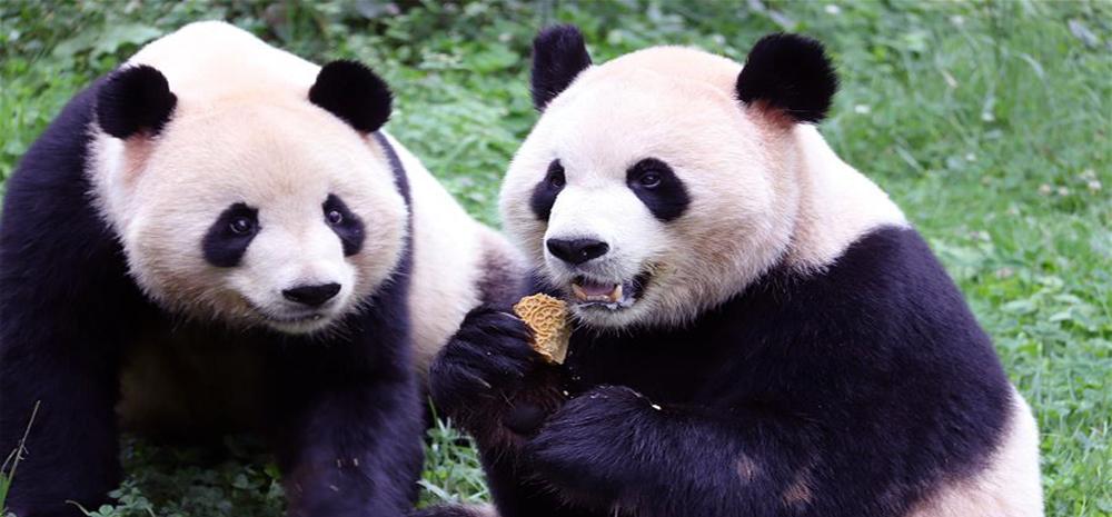 大熊猫过中秋吃月饼你见过吗?萌死!