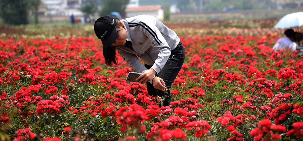 除了十里桃花 这里还有千亩玫瑰花海在等你!