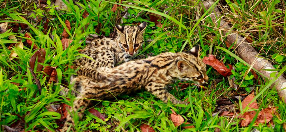 """萌!为回归""""野性""""云南普洱两只被救助豹猫幼崽接受生存训练"""