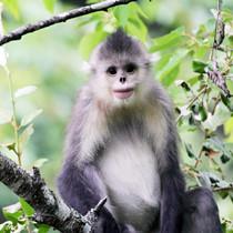 滇金丝猴:深山里的小精灵