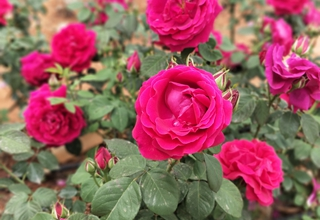 Roses grown, made into flower delicacies at Yunnan University