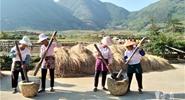 Folks harvest rice in western Yunnan's Mangshi City