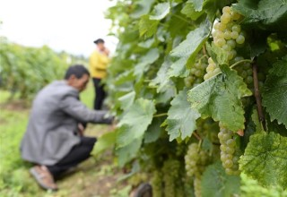 การเพาะองุ่นช่วยเพิ่มรายได้และขจัดความยากจนให้กับเกษตรกรในเหวยซี ยูนนาน