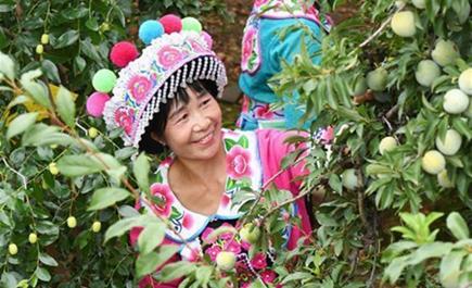ယူနန္ျပည္နယ္ ယြမ္မုပ္ခ႐ိုင္တြင္ မက္မြန္းသီး၊ မက္မန္းသီးပြဲေတာ္မွာ ၀မ္းေျမာက္၀မ္းသာစြာ အသီးမ်ားဆြတ္ခူး