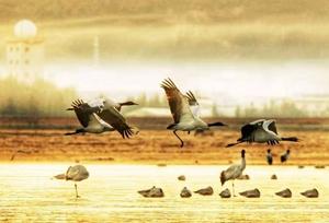 ယူနန္ရွန္ဂရီလာ ႀကိဳးၾကာမ်ား နံနက္ဆည္းဆာတြင္ သြက္လက္စြာ ပ်ံ၀ဲေနသည္မွာ ပန္းခ်ီကားတစ္ခ်ပ္ျဖစ္ေန