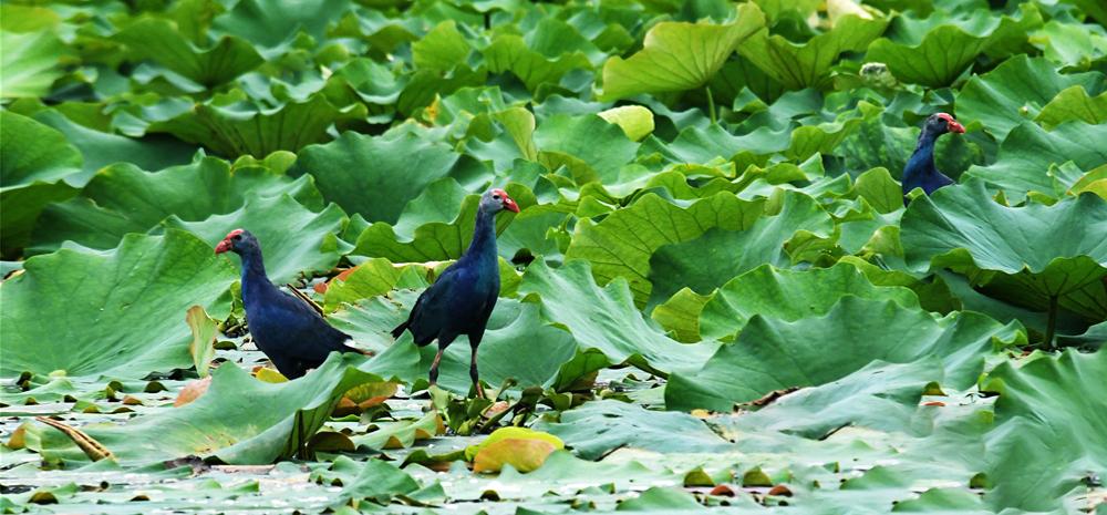 พบนกช้อนหอยดำเหลือบ (Glossy Ibis) ภายในอุทยานแห่งชาติพื้นที่ชุ่มน้ำทะเลสาบอี้หลง ฉือผิง มณฑลยูนนาน