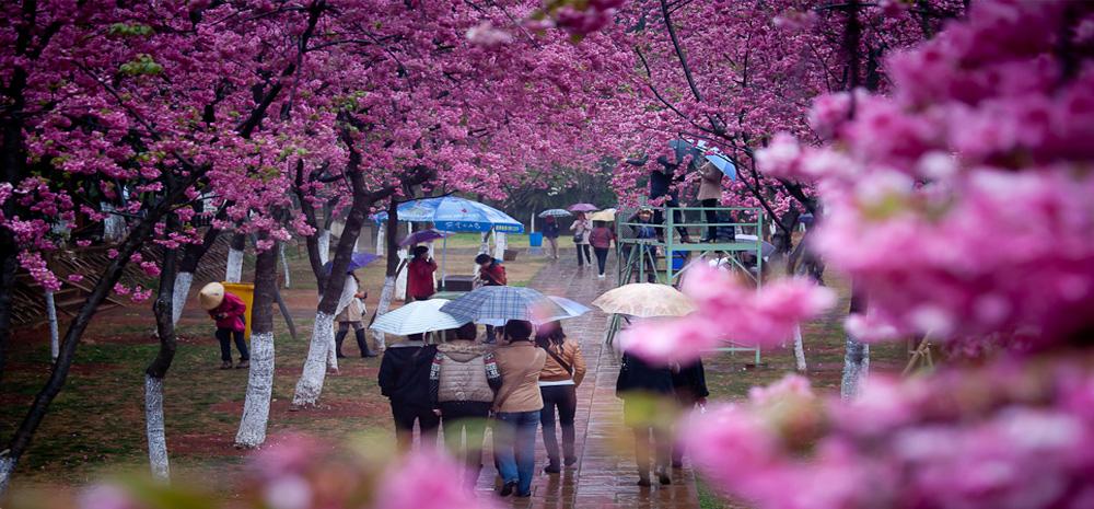 โอบกอดทะเลดอกไม้ในเดือนมีนาคมที่เมืองคุนหมิง