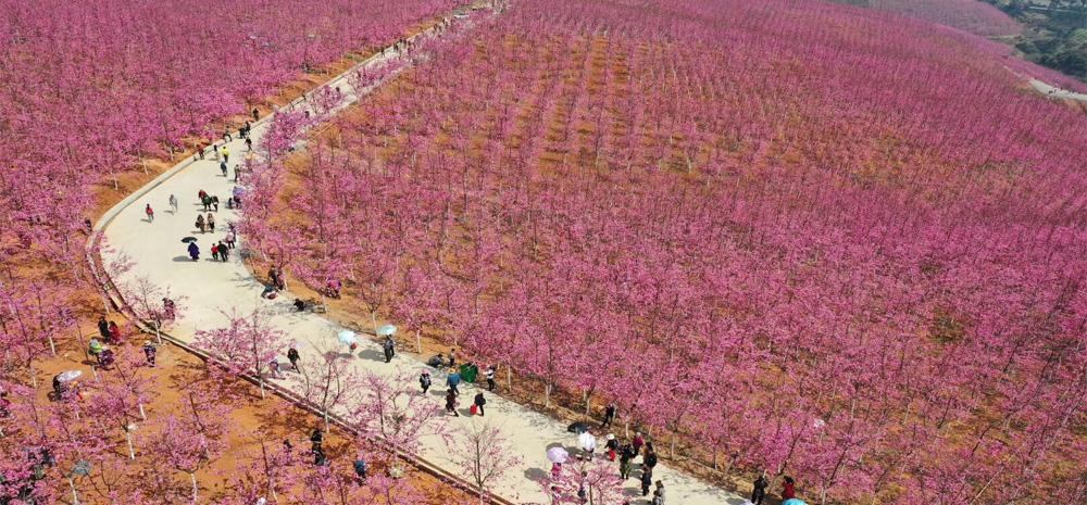 นักท่องเที่ยวเริงร่าดอกซากุระบานสะพรั่งที่อำเภออี๋เหลียง